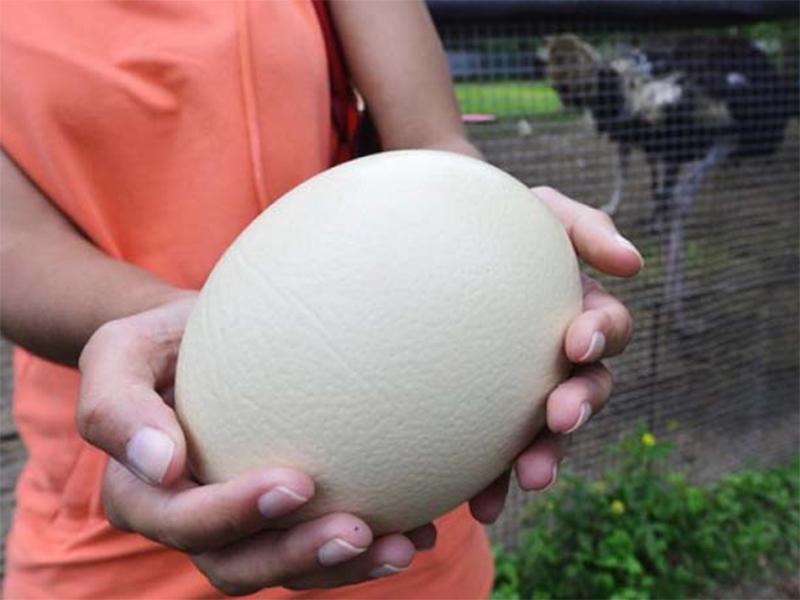 На Херсонщине в мороз страусы яйца несут