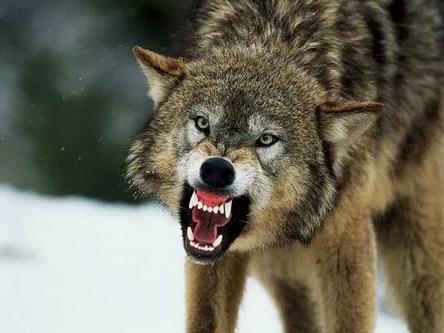 Волчья напасть на Херсонщине