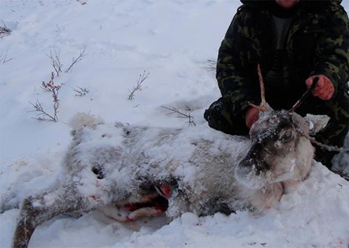 Браконьерский расстрел оленей на Херсонщине