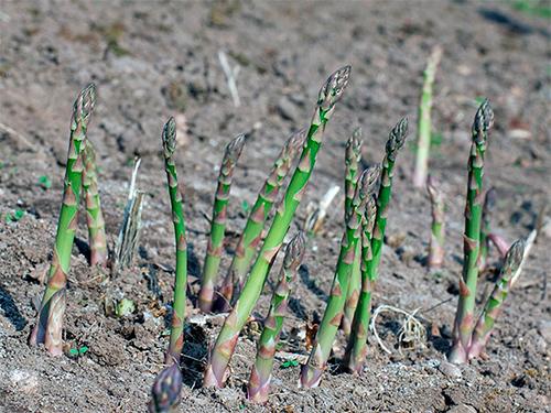 На Херсонщині  вирощують спаржу