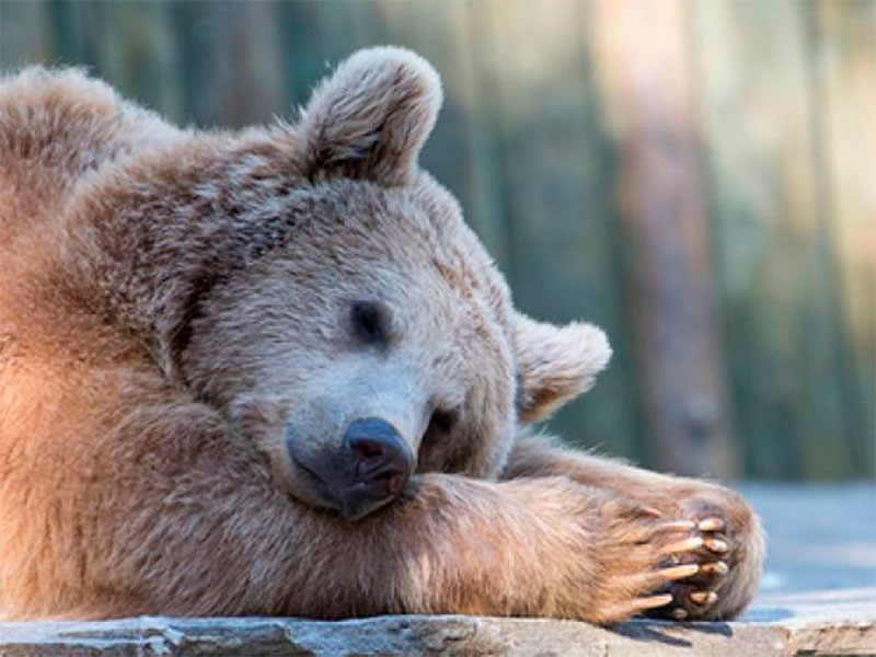 Медведи на Херсонщине спят по графику