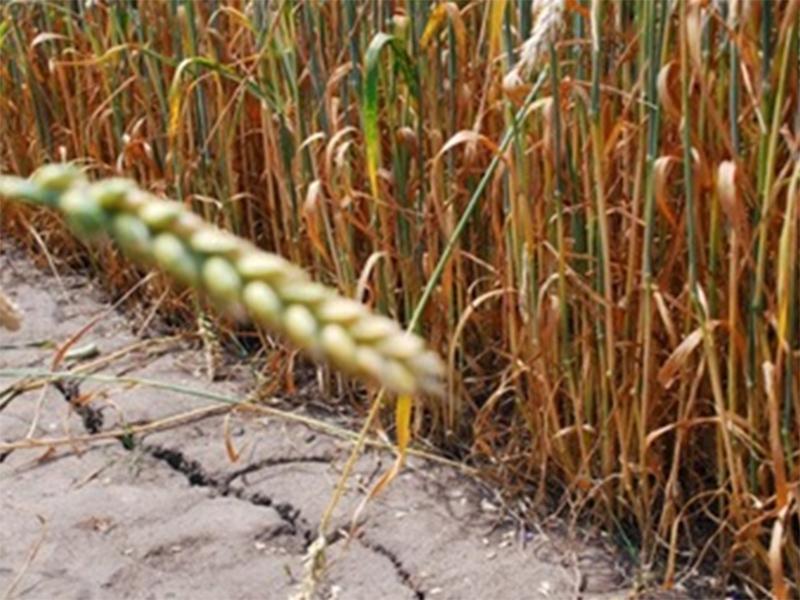 Херсонщина может потерять часть урожая озимых