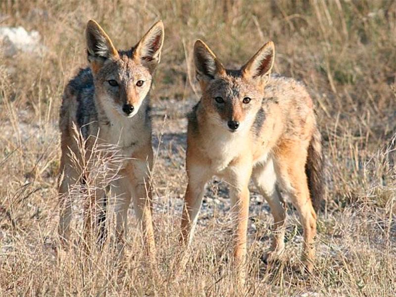 Вслед за волками на Херсонщине освоились и шакалы
