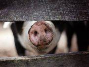 На Херсонщине разоблачили похитителей свиней
