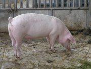 На Херсонщині скоротилося поголів'я свиней