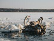 На Херсонщине сообщения о замерзающих во льду лебедях оказались ложными