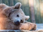 В зоопарке на Херсонщине заснули медведи