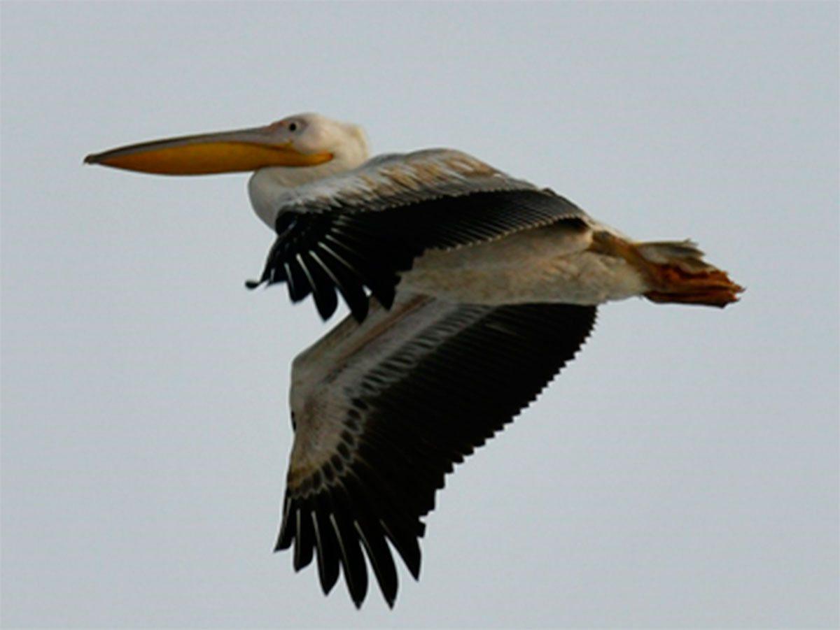 На Херсонщине среди зимы летают пеликаны
