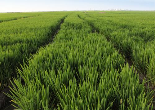 Бюрократия оставит Херсонщину без риса?