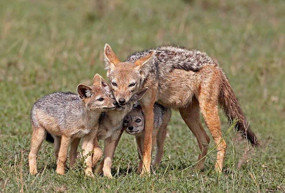 шакалы, охотники, лисы