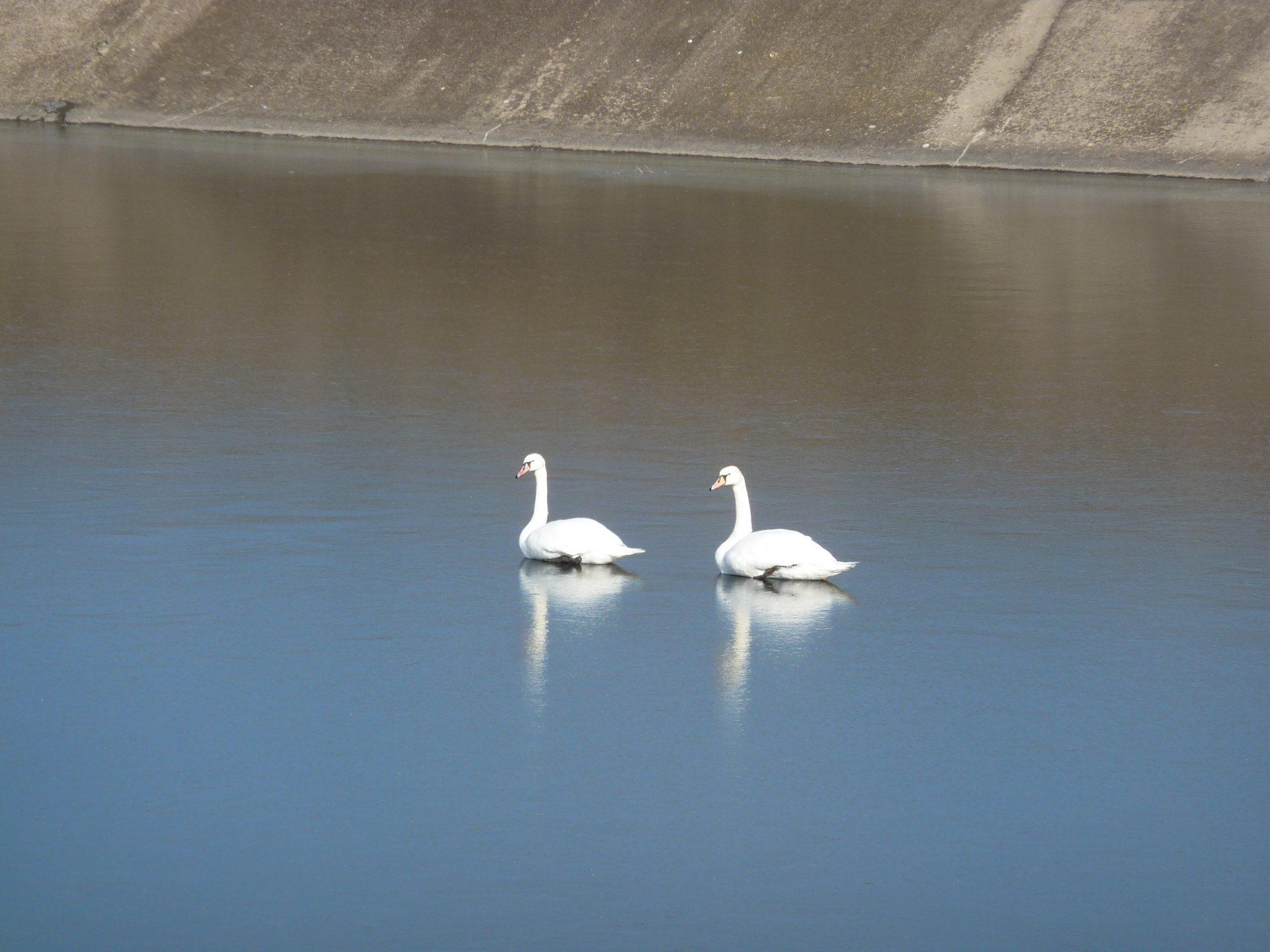 На Херсонщине лебеди зимуют на оросительном канале