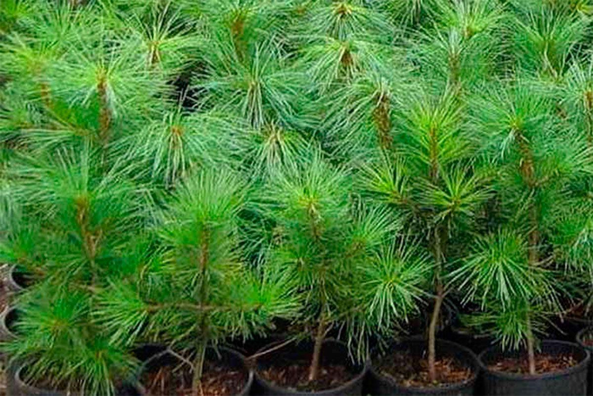На Херсонщині виростили саджанці для молодих лісів