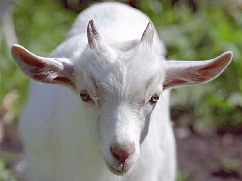 Коза на Херсонщине сельчанке рогом глаз проткнула