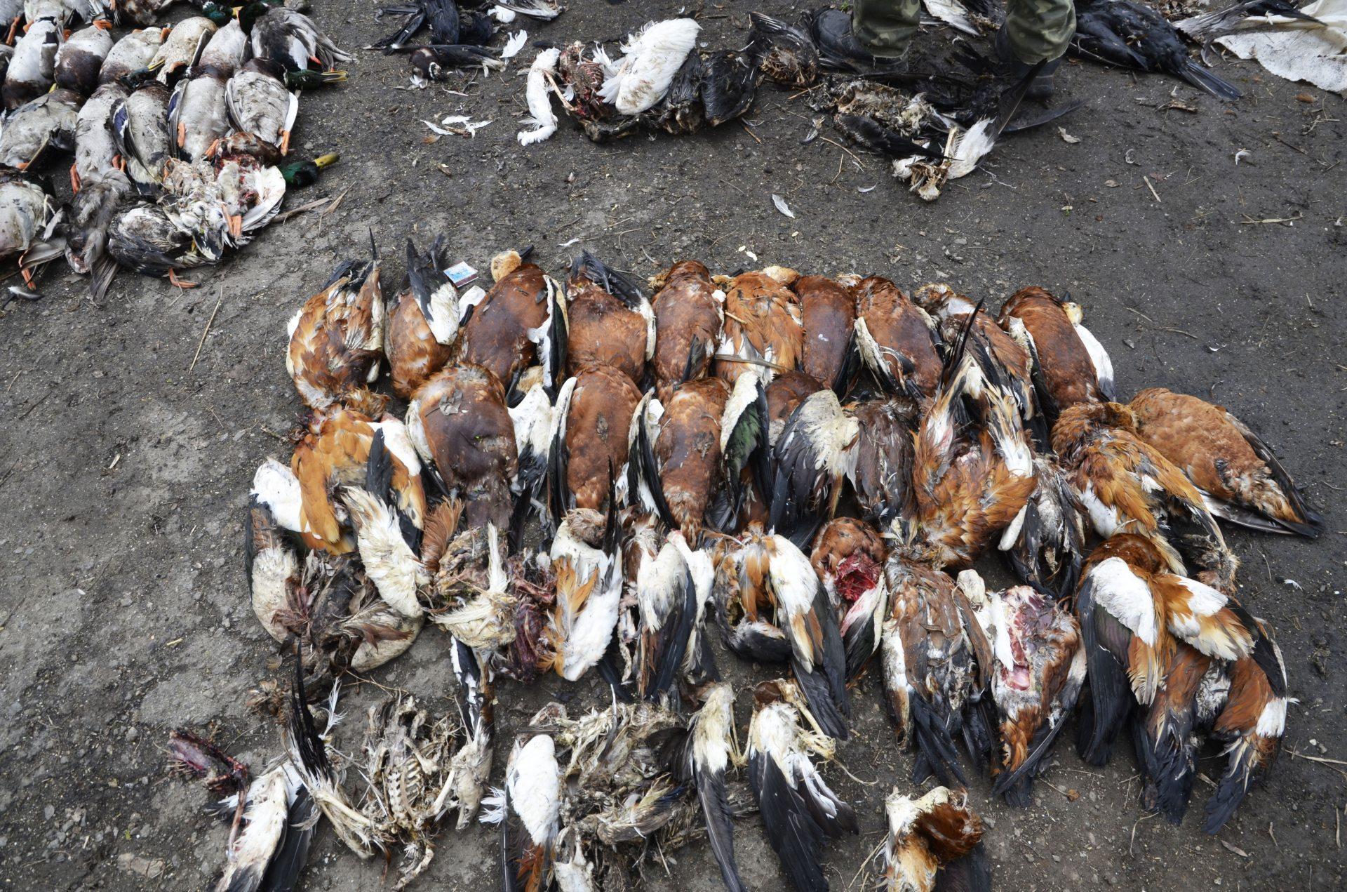 птахи, отруда, гризуни