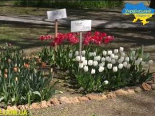 Херсонців зачаровують тюльпани