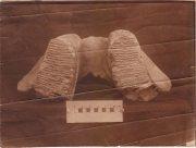 Херсонский краеведческий музей показал челюсть мамонта