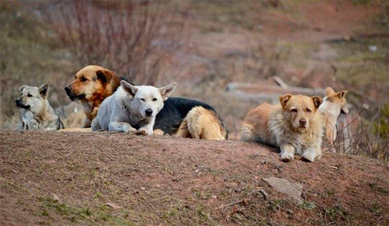 Херсонщина, собаки, Яновский