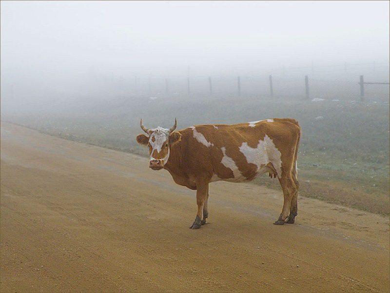 корова, скутер, столкновение, травмы