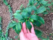 На Херсонщине зреет урожай апельсинов