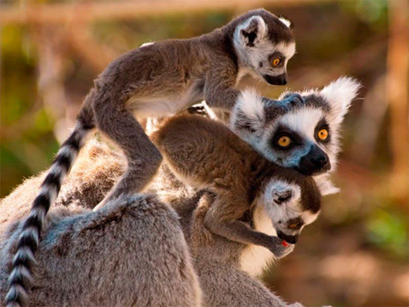 Мадагаскарские лемуры дали потомство на Херсонщине