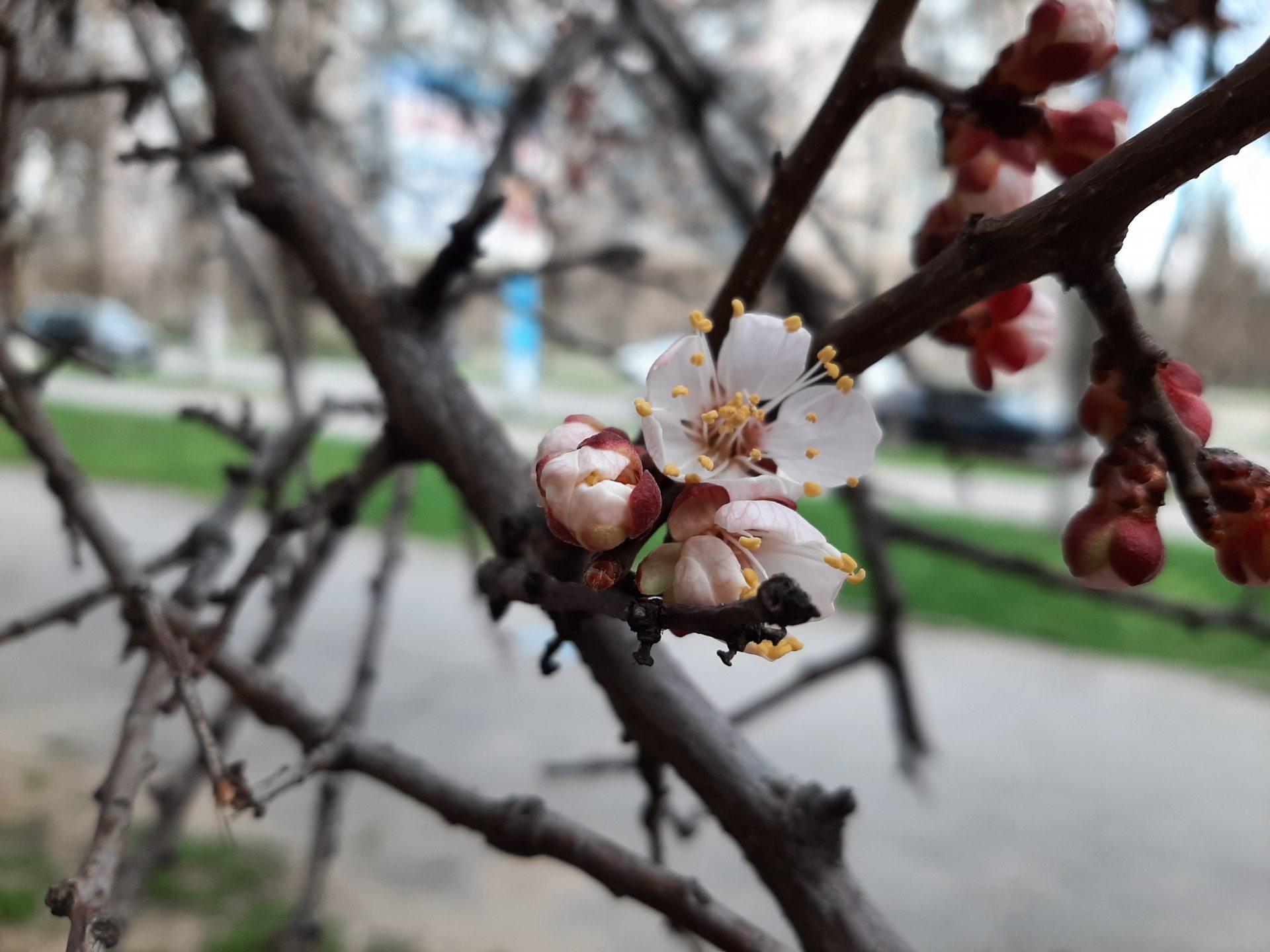 абрикоси, фото, весна
