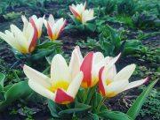 У Ботанічному саду Херсонського держуніверситету прокинулися тюльпани