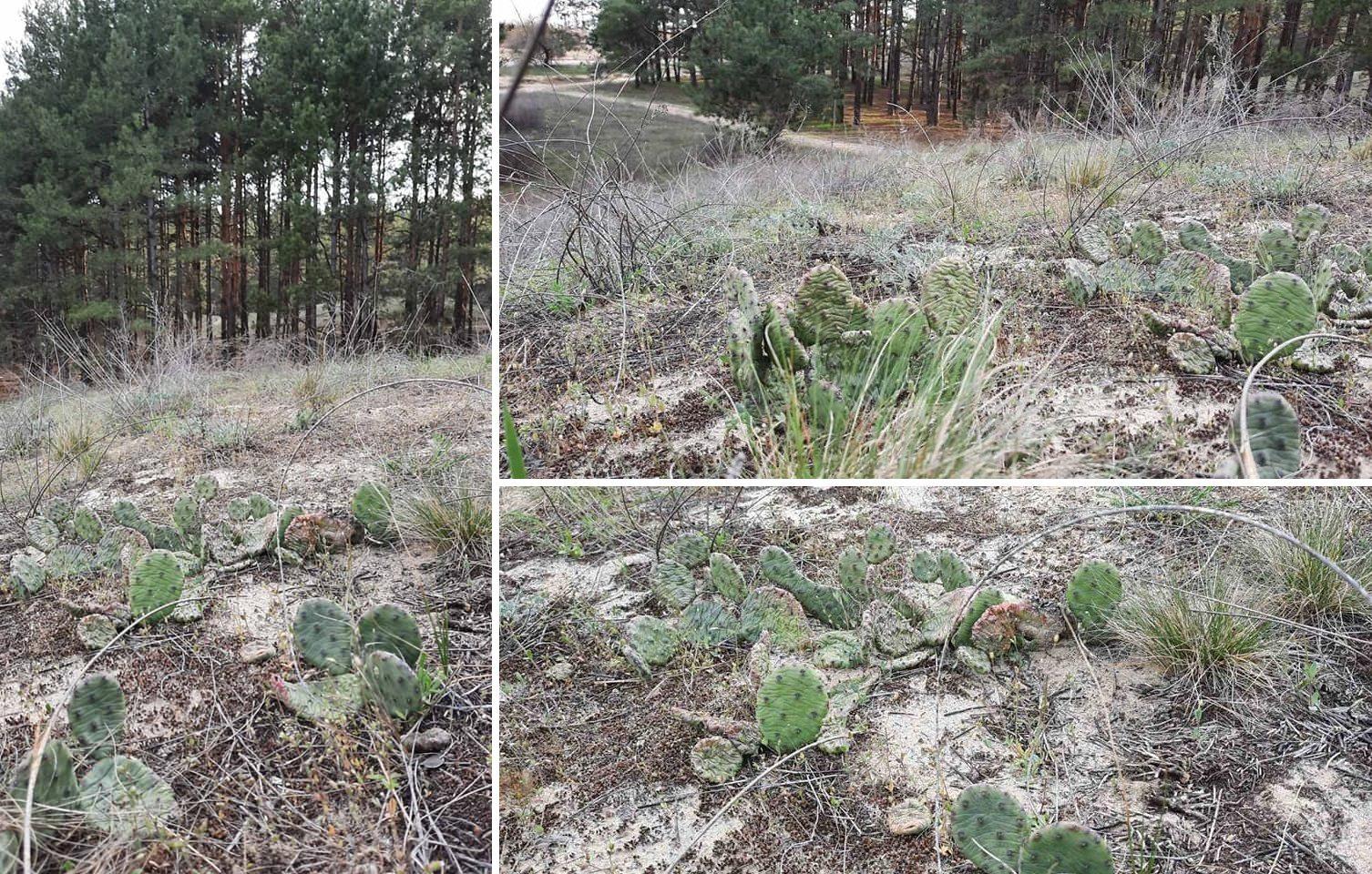 В лесах Херсонщины обнаружили поляну кактусов