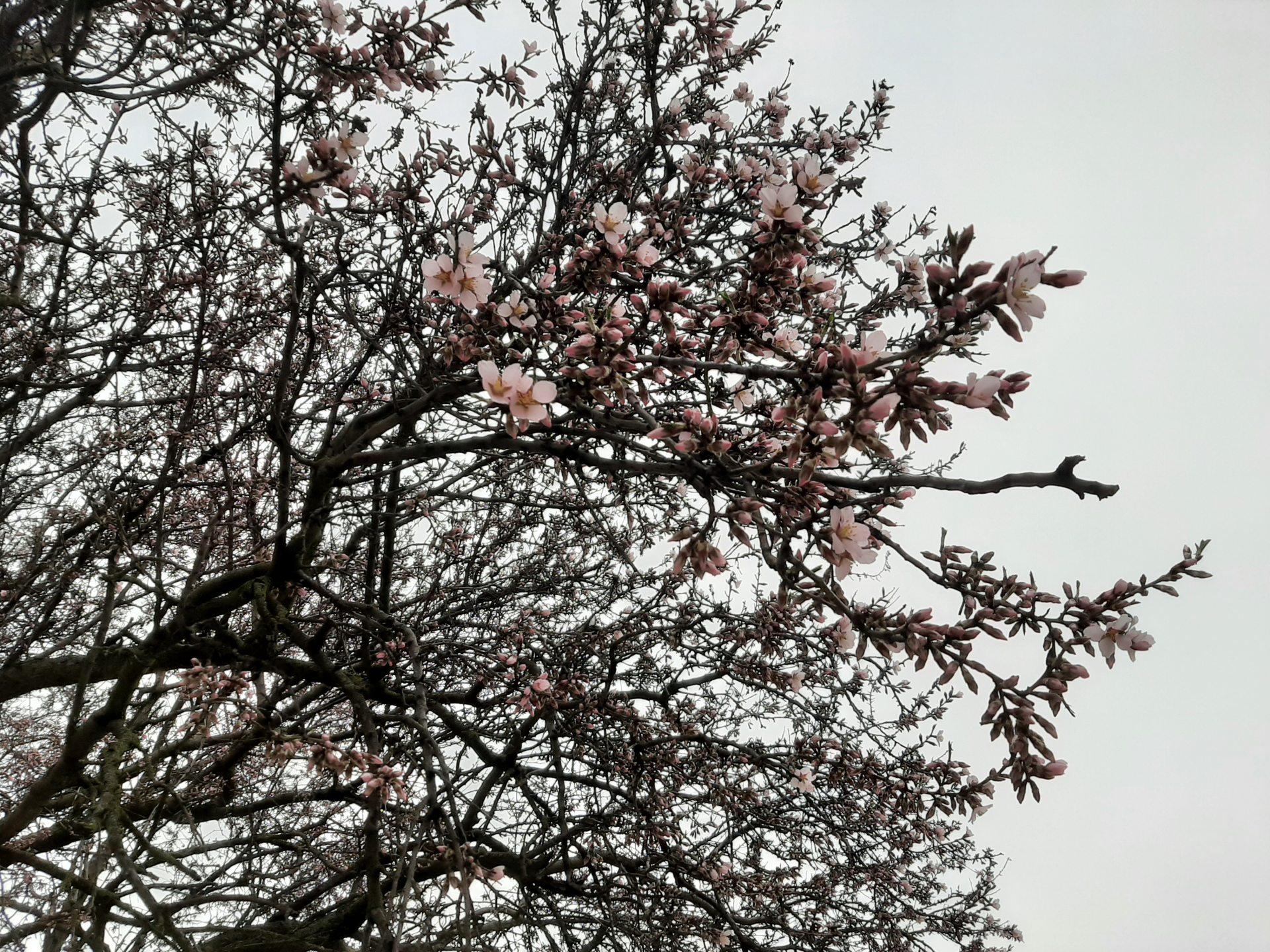 мигдаль, розквітло дерево