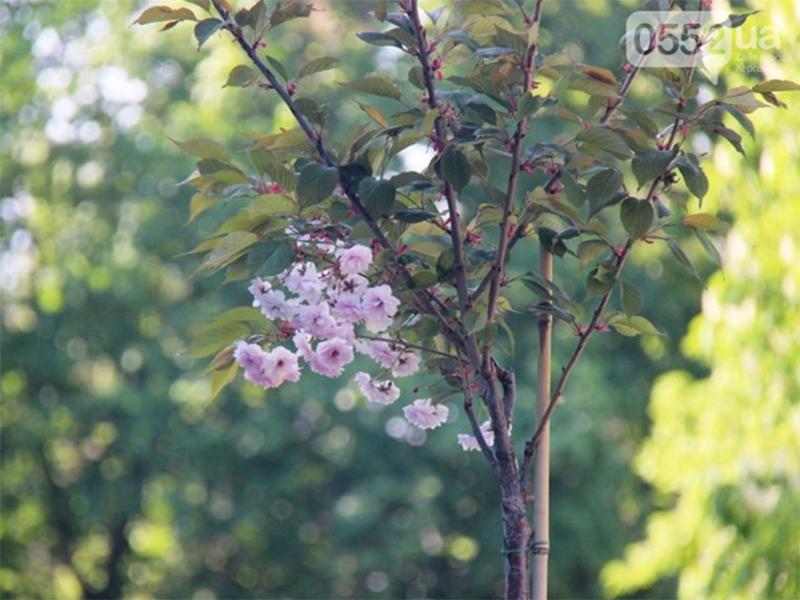 И в Херсоне сакуры цветут
