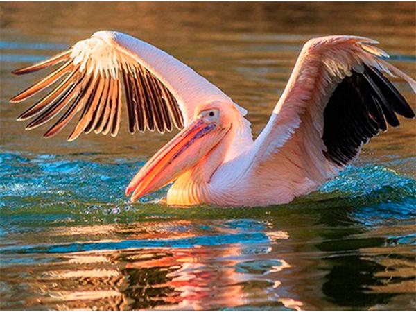 На Херсонщині обживаються рожеві пелікани