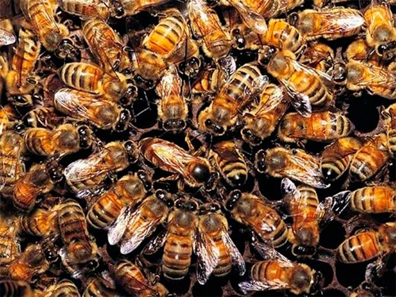 Чому в Каїрах загинули бджоли?