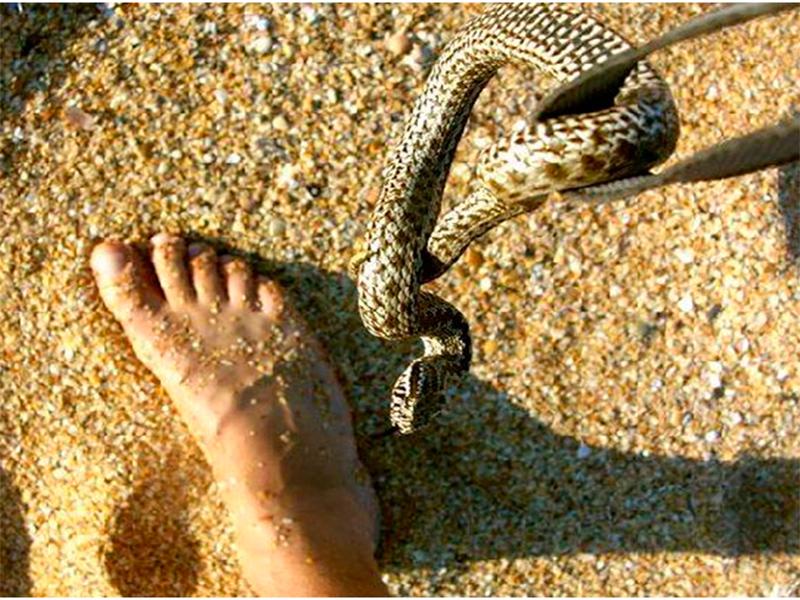 Две атаки ядовитых змей за день на Херсонщине