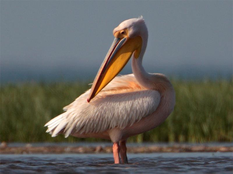 Одинокого пеликана на Херсонщине лебеди приняли в компанию