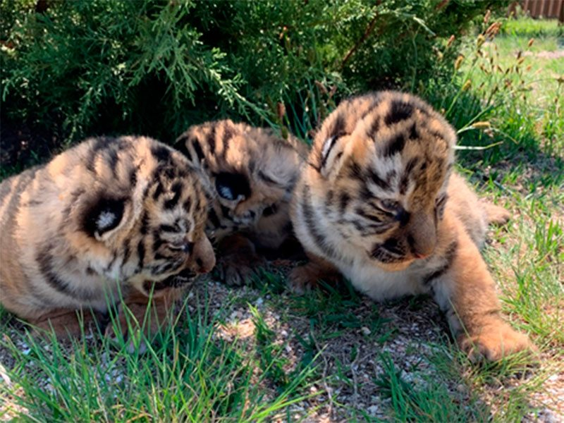 Сразу три тигренка появились на свет в Сафари-парке на Херсонщине