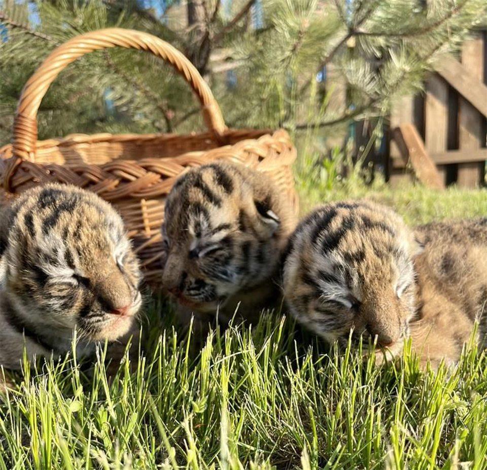 тигренята, сафарі-парк, Арабатка