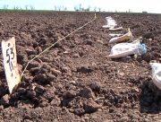На Херсонщині знову пробують вирощувати бавовник