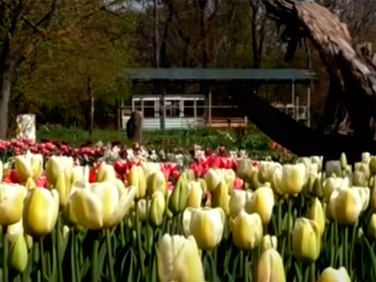 Херсон, відео, тюльпани