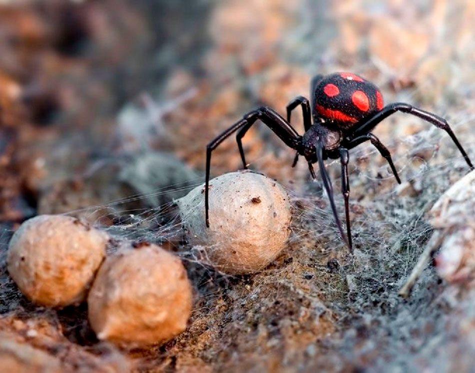 каракурты, пауки, опасность
