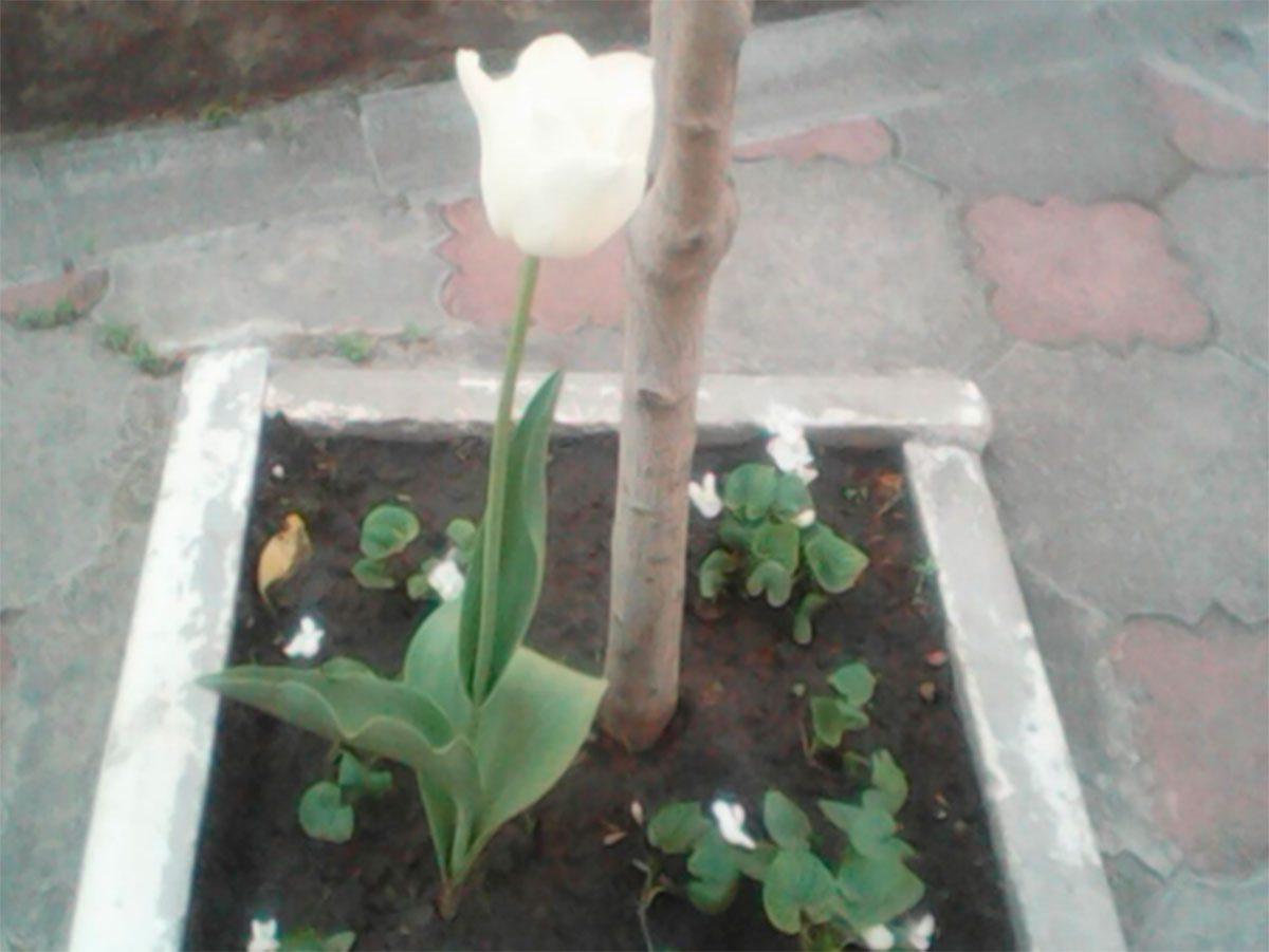 В центре Херсона вырос редкий тюльпан