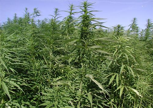 В Каховке созрела «зеленая отрава»