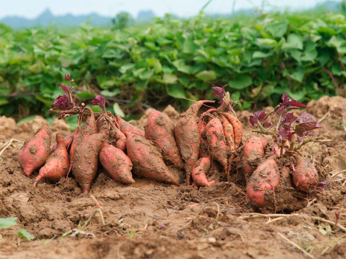 Выращивание батата прекратили на Херсонщине