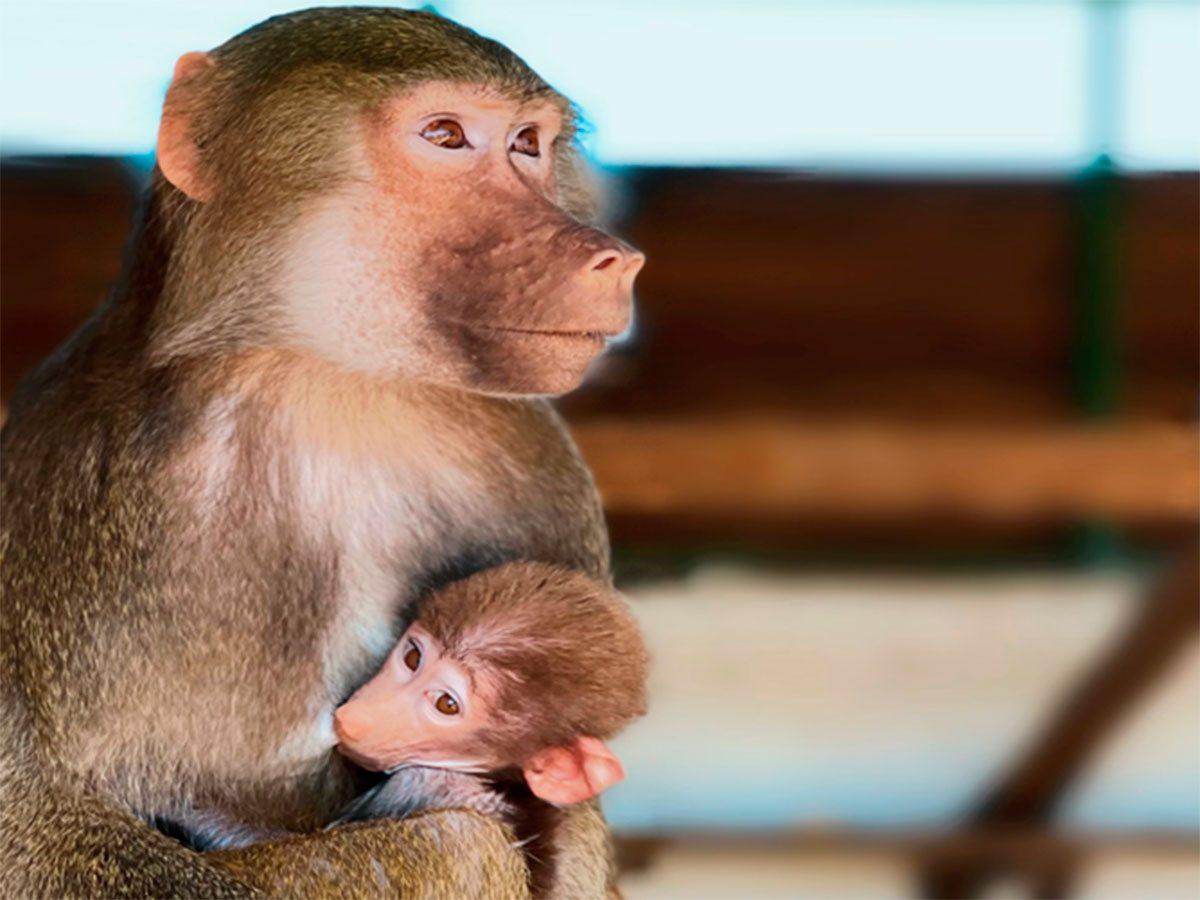 Сафари-парк, бабуины, Гетта