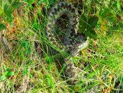 На пустырях херсонцев подстерегают змеи
