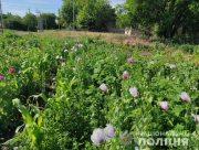 У двух жителей Херсонщины изъяли более тысячи кустов снотворного мака