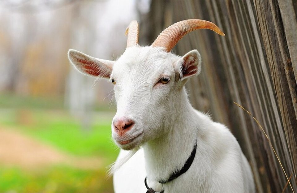 суд, кривдник, коза