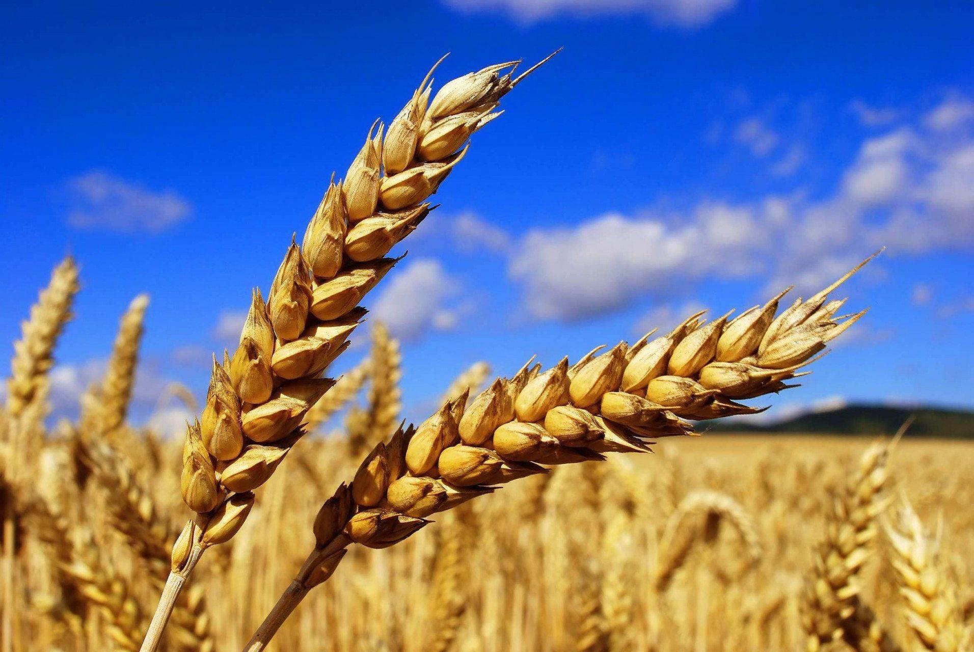 урожай, ячмень, зерновые