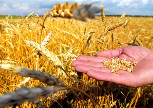 Що більше зерна, то нижча ціна