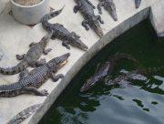На Арабатке открылась ферма по выращиванию крокодилов