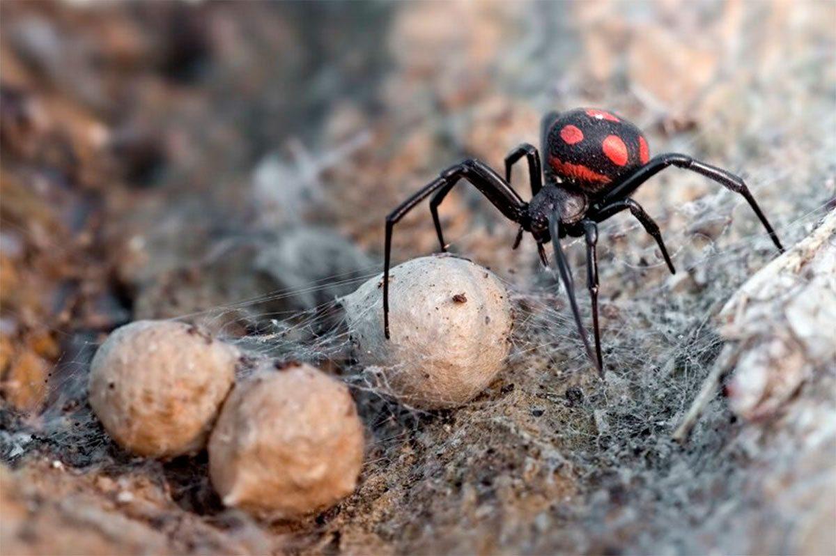 Олешки, паук, Яновский
