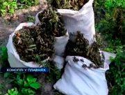 Наркотичні плантації у херсонських плавнях